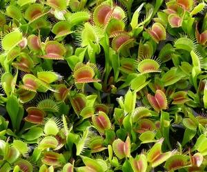 Venusplant Kweekset