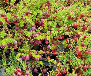 Cranberry's Kweekset