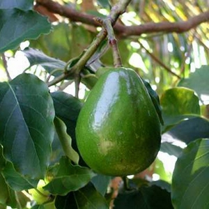 Avocado Kweekset