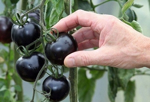 Zwarte Tomaat Kweekset