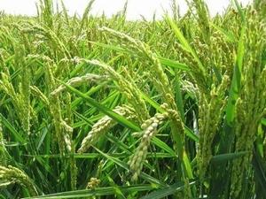 RijstPlant Kweekset