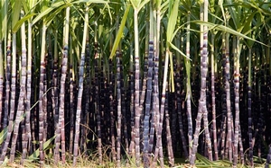 Suikerriet Zwart